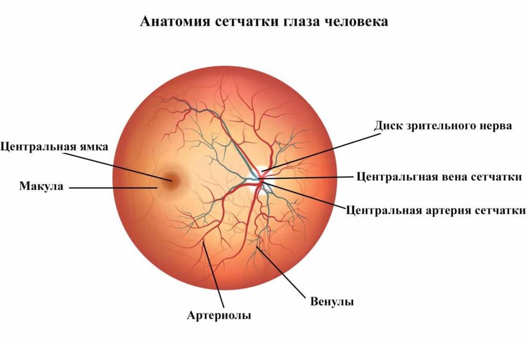 строение сосудов сетчатки глаза