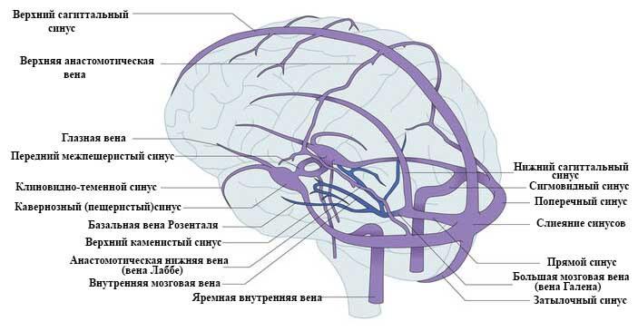 строение вен и венозных синусов головного мозга человека