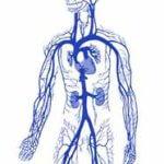 венозная система человека