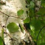 отвар из листьев березы