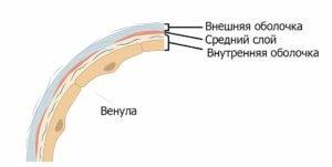 строение венулы