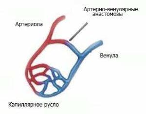 Артерио-венулярные анастомозы ( АВА )