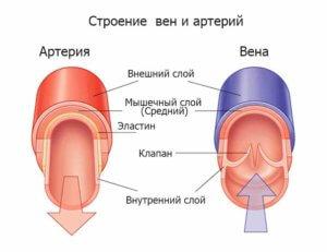 строение артерии и вен