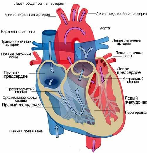 сердце в кровеносной системе