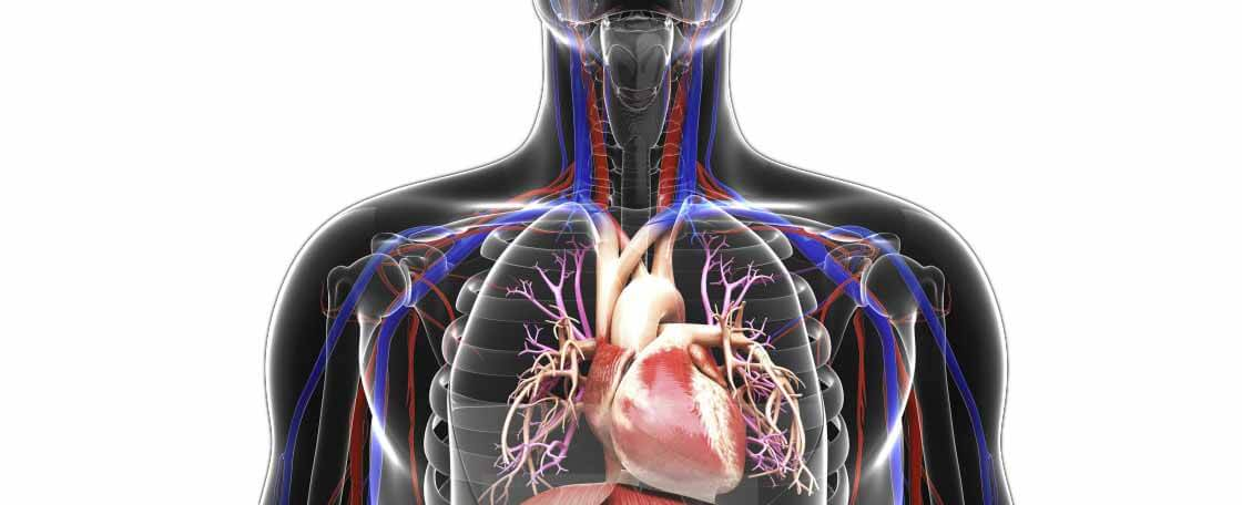 Органы кровообращения сердце и сосуды