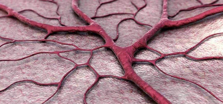 Кровеносные сосуды: строение и функции сосудов, патологии
