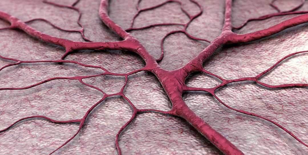 Артериальная и венозная система человека