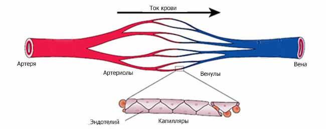 сосуды в кровеносной системе