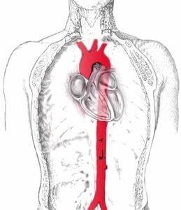 основной кровеносный сосуд