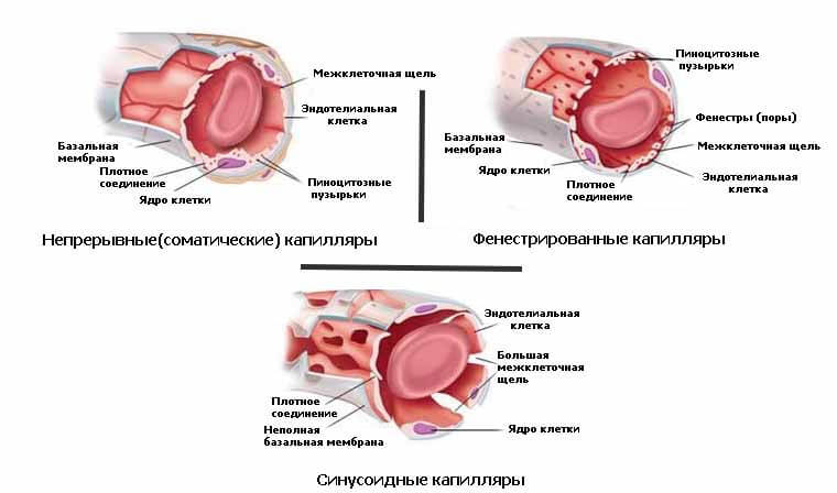 3 вида капилляров