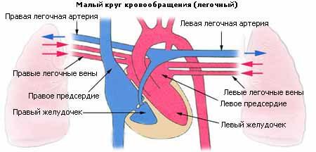 легочный круг кровообращения