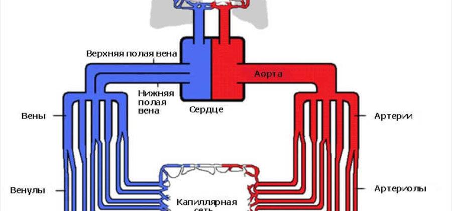 Круги кровообращения человека: структура, функции и особенности