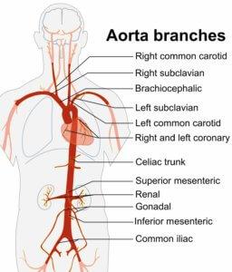 ветви аорты
