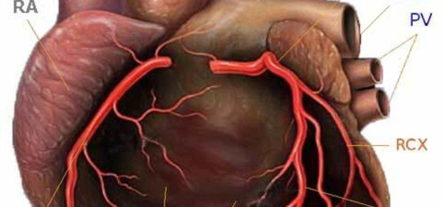 Коронарные артерии — строение, функции и патологии