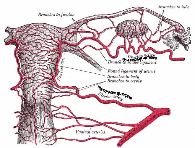 маточная артерия функции