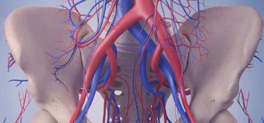 Подвздошная артерия — строение, функции и патологии