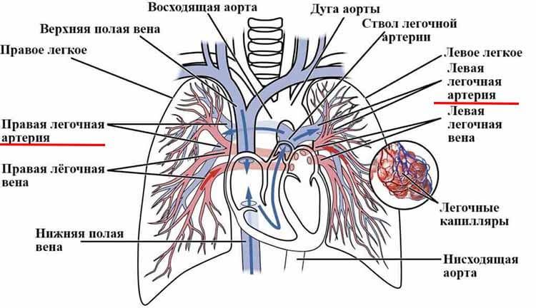 строение легочных артерий