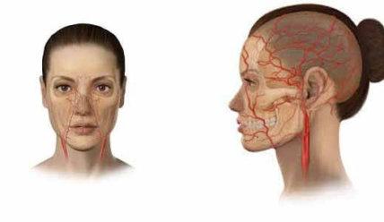 Артерии головы и шеи — строение, функции и распространенные патологии